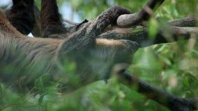 De paresse climibng lentement sur des branches d'arbre banque de vidéos