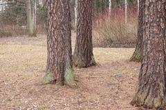 De park vroege lente de boomstammen van larikslandschap Stock Fotografie