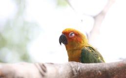 De parkiet of de papegaai slapen op boomtak Stock Foto