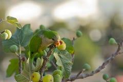 De Parkiet van de monnik (Myiopsitta Monachus) Royalty-vrije Stock Foto's
