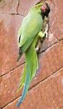 De parkiet van de papegaai op een bakstenen muur Royalty-vrije Stock Afbeelding
