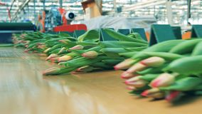 De partijen roze tulpen bewegen zich langs de transportband stock video