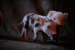 De pasgeboren biggetjes kwamen worden gefotografeerd Stock Foto's