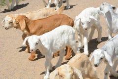 De pasgeboren jonge geitjes van de babygeit stock afbeelding