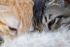 De pasgeboren katjes drinken melk van de borst van de moeder stock afbeelding