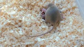 De pasgeboren kleine muizen zijn blind met hun mamma in het nest stock videobeelden