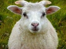 De pasgeboren schapen van de baby witte ram onder de regen royalty-vrije stock foto's