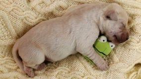 De pasgeboren slaap van de het puppyhond van Labrador op wollen oppervlakte stock video