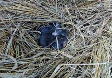 De pasgeboren zwarte konijnwelpen liggen omhoog gekruld in een stronest royalty-vrije stock afbeeldingen