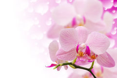 De pastelkleur kleurde bevlekte orchideebloemen op bokeh stock fotografie
