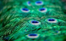 De patronen van de pauw Royalty-vrije Stock Afbeeldingen