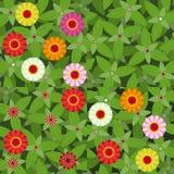 De patronen van Zinnias van bloemen Stock Afbeelding