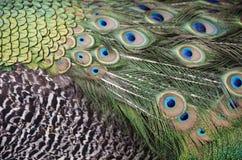 De pauw bevedert close-up royalty-vrije stock afbeeldingen