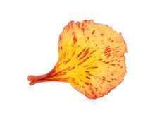 De pauw bloeit bloemblaadje op wit wordt geïsoleerd dat royalty-vrije stock foto