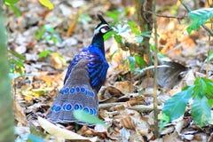 De pauw-fazant van Palawan stock foto
