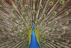 De pauw (Pavo-cristatus) in Campo del Moro tuiniert, Madrid, Spai Royalty-vrije Stock Fotografie