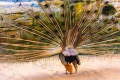 De pauw pronkt met zijn Bevederd Achtereind stock foto's