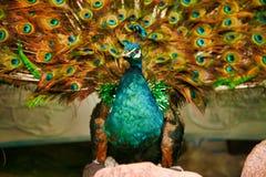 De pauw spreidde een luxueuze staart voor toeristen uit Grote Muur van China, Peking, China stock fotografie
