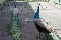 De pauw van behoudt Vogel wordt gehouden binnen een Kooi Pavocristatus royalty-vrije stock foto