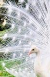 De Pauw van de albino Stock Afbeeldingen