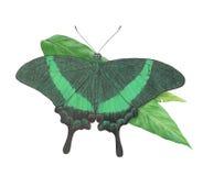 De pauw van de vlinder Stock Afbeelding