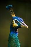 De Pauw van koningsblauwen Stock Foto