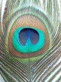 De pauwveer, sluit omhoog gedetailleerd royalty-vrije stock foto's