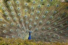 De pauwveren Royalty-vrije Stock Foto
