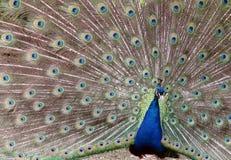 De pauwveren stock afbeelding
