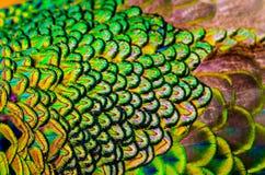 De pauwveren is colorfully Royalty-vrije Stock Fotografie