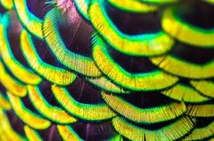 De pauwveren is kleurrijk Stock Foto