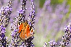 De pauwvlinder spreidt zijn mooie vleugels in zonnige lavendel uit royalty-vrije stock foto