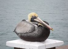 De pelikaan Royalty-vrije Stock Foto's