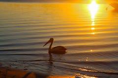 De pelikaan dichtbij kust als zon flakkert over het water bij schemer en draaien het zandkoper - met de boog van een voor de kust stock foto