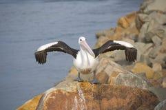 De pelikaan die het is vleugels droogt Stock Fotografie