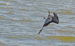 De pelikaan duikt ondersteboven! royalty-vrije stock afbeeldingen