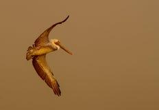 De pelikaan gaat in Mist royalty-vrije stock afbeeldingen