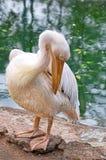 De pelikaan maakt zijn veren schoon Stock Foto's