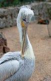 De pelikaan maakt zijn veren schoon Stock Foto