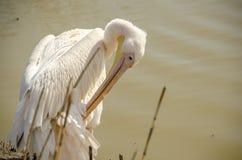 De pelikaan maakt zijn veren schoon Stock Fotografie