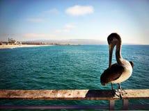 De pelikaan rust op het traliewerk van een pijler in Hermosa-Strand, Californië royalty-vrije stock foto
