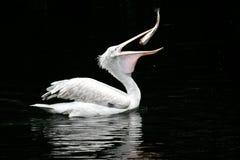 De pelikaan slikt een vis Royalty-vrije Stock Foto's