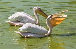De pelikaan slikt vissen Royalty-vrije Stock Foto's
