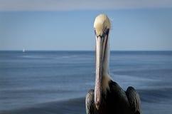 De pelikaan staart. Stock Afbeelding