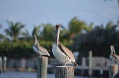 De pelikaan staart Royalty-vrije Stock Foto