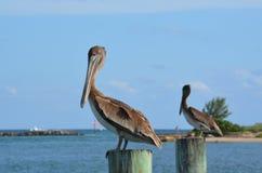 De pelikaan staart Stock Foto