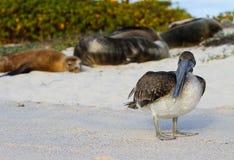 De Pelikaan van de Galapagos Stock Foto