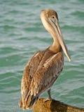 De pelikaan van de pier Stock Fotografie