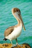 De pelikaan van Florida Stock Afbeeldingen