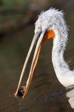 De pelikaan ving een vis Stock Afbeeldingen